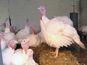 adult white turkeys
